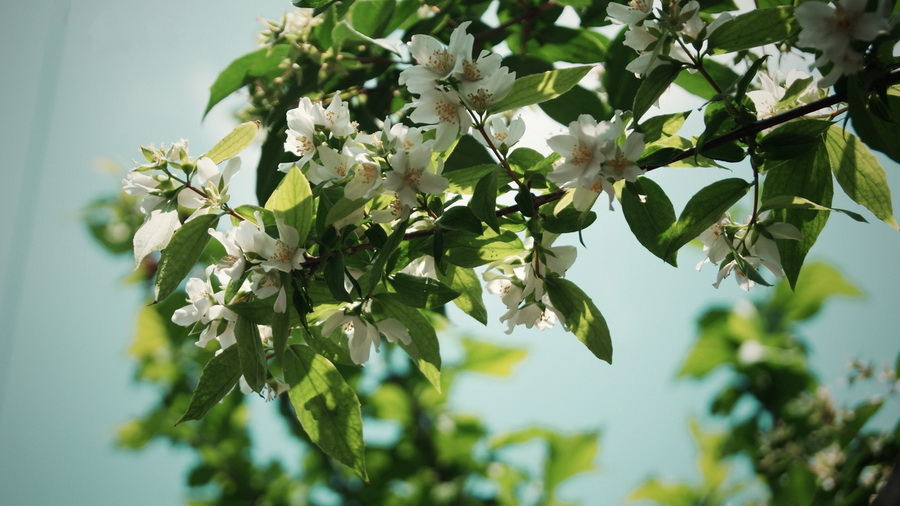 Красивые цветущие деревья: фото и названия - m 86