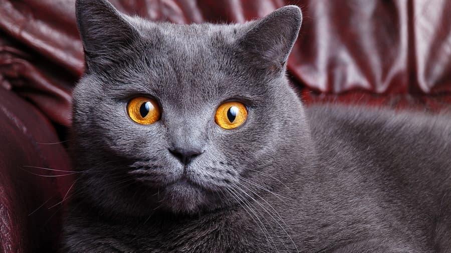 Британец кот прямоухий фото