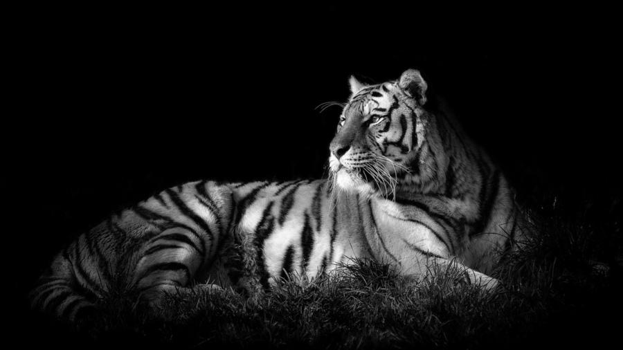 тигр на рабочий стол фото