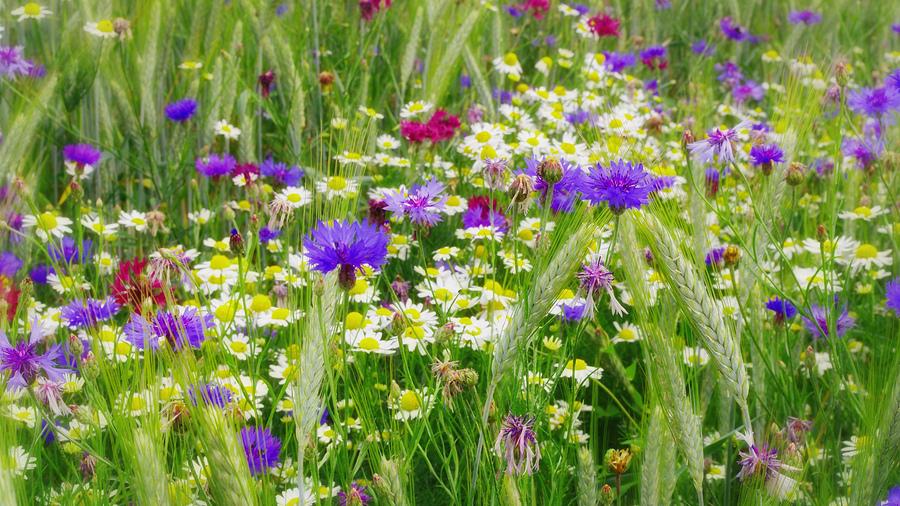 Обои цветы полевые цветы