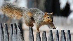 fence, promenade, squirrel, прогулка, Белка, забор