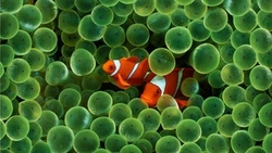 fish, clownfish, рыба-клоун, рыба