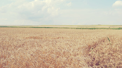 field, 2560x1600, sky, небо, spikes, landscape, wheat, облака, nature, природа, колосья, пшеница, пейзаж, поле, clouds ...