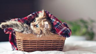 кошка, face, ben torode, eyes, kitty, Cat, basket, paws, kitten