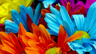 red, violet, lactic, Bright colorful flowers, orange, water drops