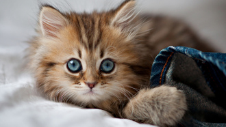 kitty, глаза, Cat, paws, blue eyes, кошка, cute, eyes