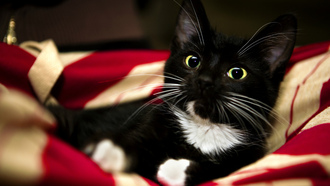 animal, white, kitten, paw, blanket, black, sweet, pet, red, cat