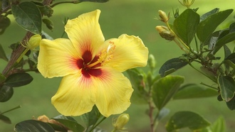 Blossom, цвет, Hawaii, желтый, Гавайи, hibiscus, yellow, гибискус