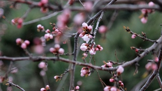 pink, flowers, plum flower, china