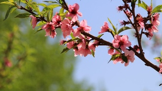 flowers, plum flower, china, pink