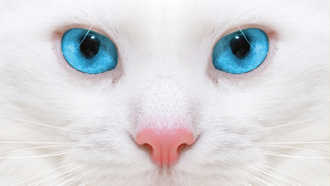 Beautiful white cat, close up , красивая белая кошка, micro, kitten
