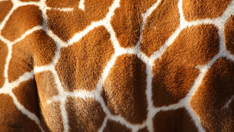 pattern, brown, color, giraffe, skin, white