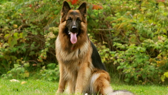 friend, dog, german shepherd