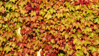 leaf colors, wall, vine