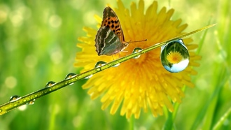 капля, drop, одуванчик, stem, бабочка, dandelion, butterfly, reflection