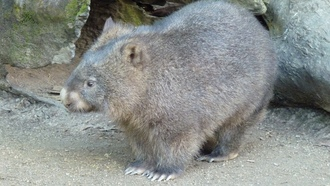 wombat, family, marsupials, walk, wool