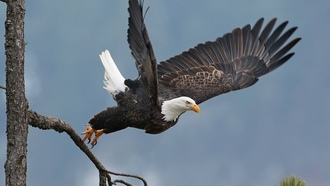 wings, animal, wild, tree, flying, branch, bird of prey, bird, agle, rape