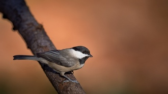 chickadee, wildlife, branch, bird
