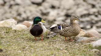 ristovrt, природа, animal, landscape, nature, wildlife, птицы, duck