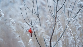 winter, wildlife, freeze, bird, snowing, cardinal, red, frost