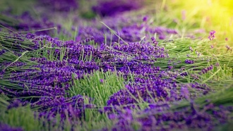 lavender, harvest, flowers, sunlight