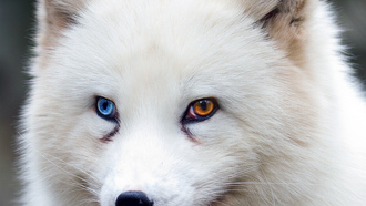 fox, brown eyes, blue eyes, animal, wildlife, fur, ears, close up, rctic fox, snout, heterochromia