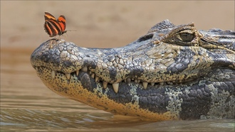 butterfly, two, crocodile, nimals, other