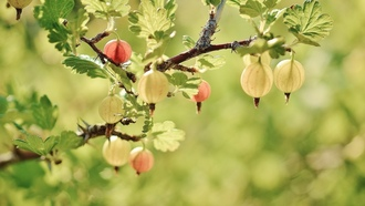 gooseberry, fruits, redspring