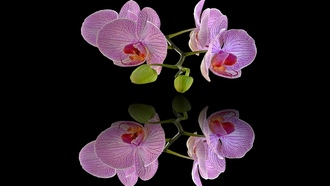 orchids, background, screen