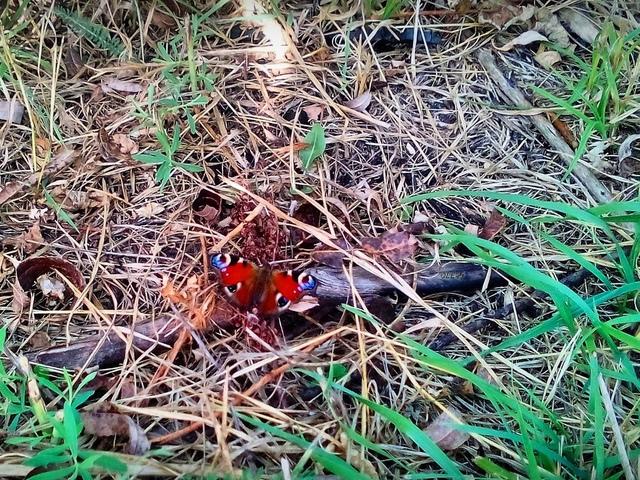 природа, бабочка