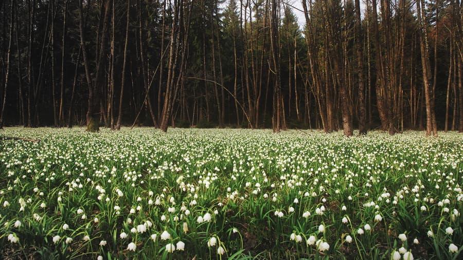 Поляна подснежники природа весна