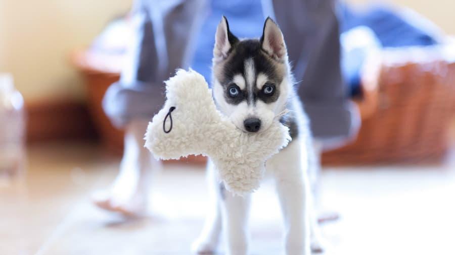Собака игрушка щенок хаски