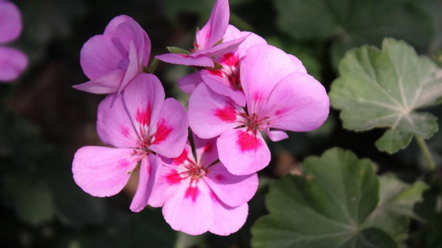 Обои макро обои весна цветы фиалки