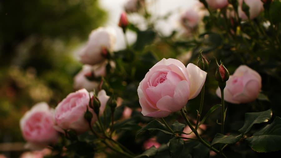 Цветы блики лепестки розовые листья