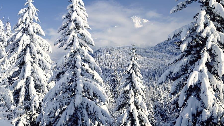 Обои на тему елки 98 природа 8387 зима