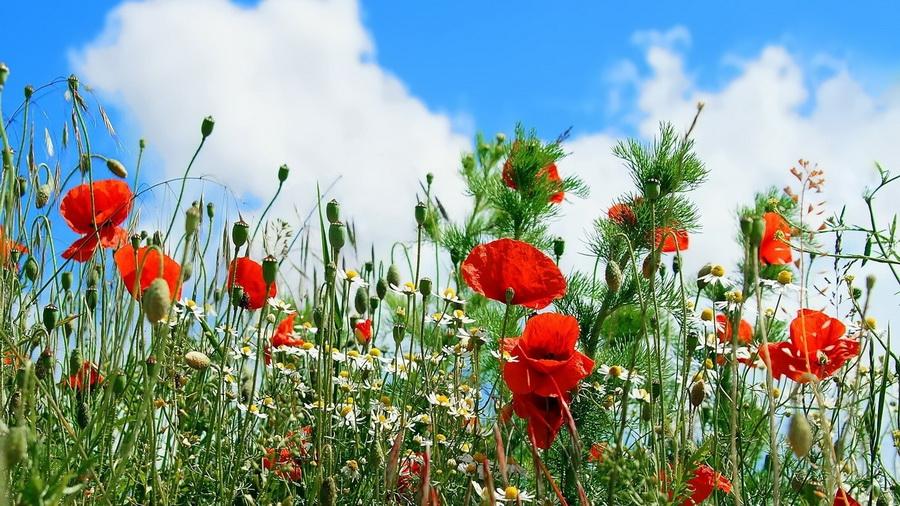 Цветы картинки маки небо ромашки