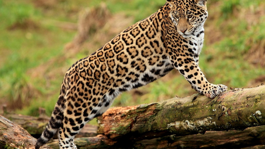 Молодой panthera onca ягуар лапы смотрит