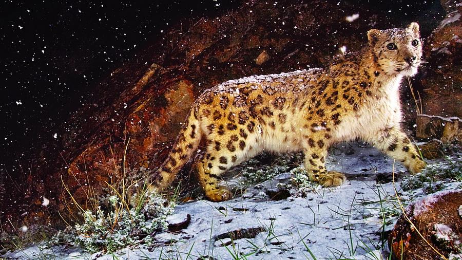 Картина, трава, зверь, камень, взгляд ...: www.look.com.ua/57015-kartina-trava-zver-kamen-vzgljad-leopard-sneg...