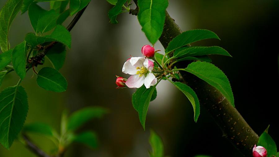 ... , весна, цветок, бутон, Ветка, розовый: www.look.com.ua/59467-jablonja-listja-vesna-cvetok-buton-vetka...