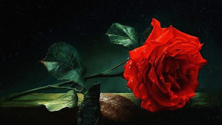 Цветы красная роза роса эмблема