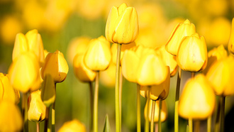 �����, flowers, �������, ����, tulips, free pictures, photos, ��������, ������, ����, ���, nature wallpapers
