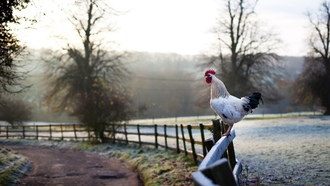 ����������, ����� ��, landscapes, chickens, morning hell, ����