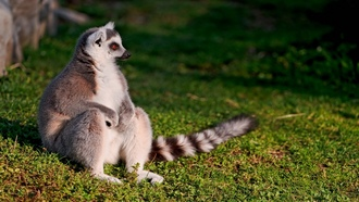 animals, �����, lemur, ��������, �������� ���, animal world