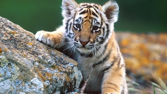 feline, tigers, ��������, �����, animals, �����