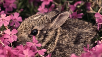 ������� �����, �������, flowers, �����, animals, bunnies, pink flowers, ��������