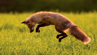 foxes, ����, animals, ��������