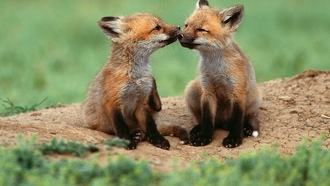 ����, foxes, baby, ��������, �������, animals