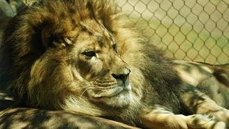 �������, nature, cage, ������, ��������, �����, lions, animals