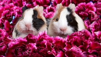 �����, guinea pig, �������������, flowers, animals, mammals, ������� ������, ��������