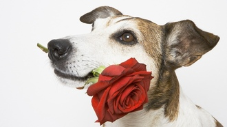 red flowers, white background, ����� ���, ��������, ������, ������� �����, dogs, animals